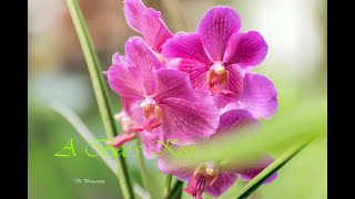 A kiss of a bee in an orchids.