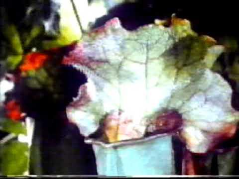 מלכודת נפילה צמחים טורפים - שופרית Sarracenia