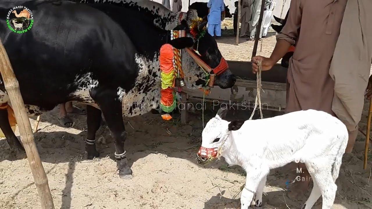 Sahiwal Cow in Sheikhupura Cow Mandi 2018 2019 for Sale Bakra Mandi