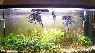 Содержание аквариумных рыбок Скалярий в аквариуме