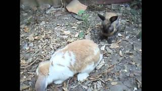 กระต่ายผสมพันธุ์ rabbit breeding