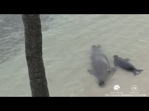 Hawaiian Monk Seals Rocky And Her Pup Kaimana July 26, 2017