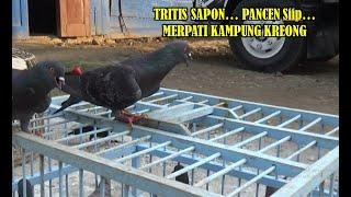 Merpati Tritis Sapon...Pancen Siip