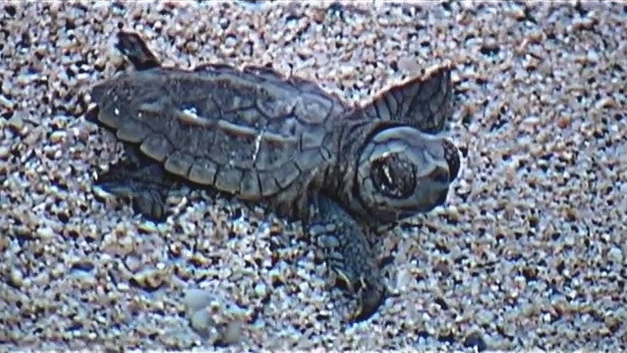 Cute Baby Sea Turtles Youtube