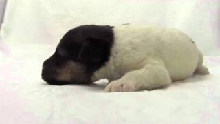 トップブリーダーのかわいい子犬動画です。ブリーダー直販にて販売中!...