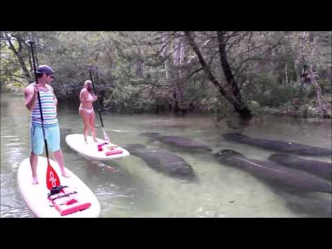 Herd of Manatees Swim Near Paddleboarders