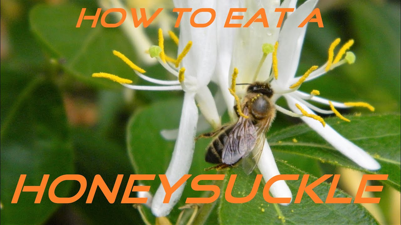 How To Eat A Honeysuckle