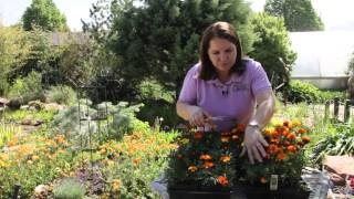 How to Prune Marigolds : Grow Guru