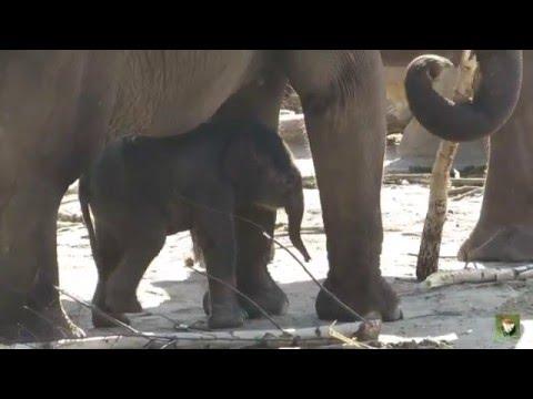 der kleine elefant la min kyaw zoo k ln youtube. Black Bedroom Furniture Sets. Home Design Ideas