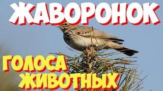 Голоса птиц и звуки животных. Звуки природы слушать онлайн ЖАВОРОНОК