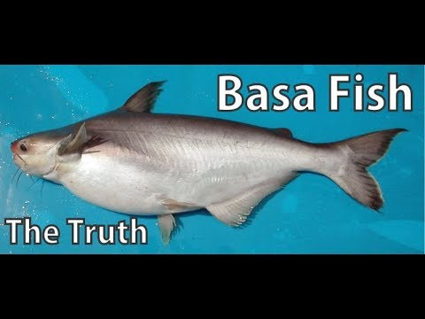 BASA FISH THE TRUTH ,Pangasius Bocourti