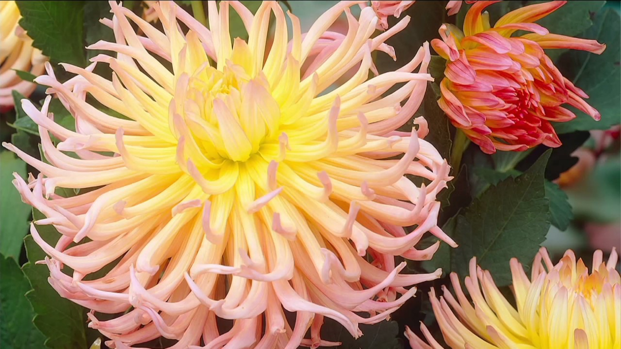 Breck\'s Mammoth 4-piece Pastel Star Dahlia on QVC - YouTube