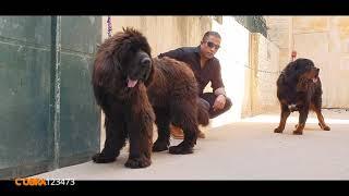 مقارنه بين كلب التبتي الاغلى بالعالم وبين كلب الانقاذ من هو الاجمل مع جمال العمواسي