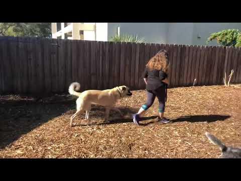 Jane | Anatolian Shepherd | Week 1 Obedience