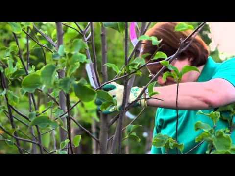 How To Prune A Magnolia Tulip Bush Youtube