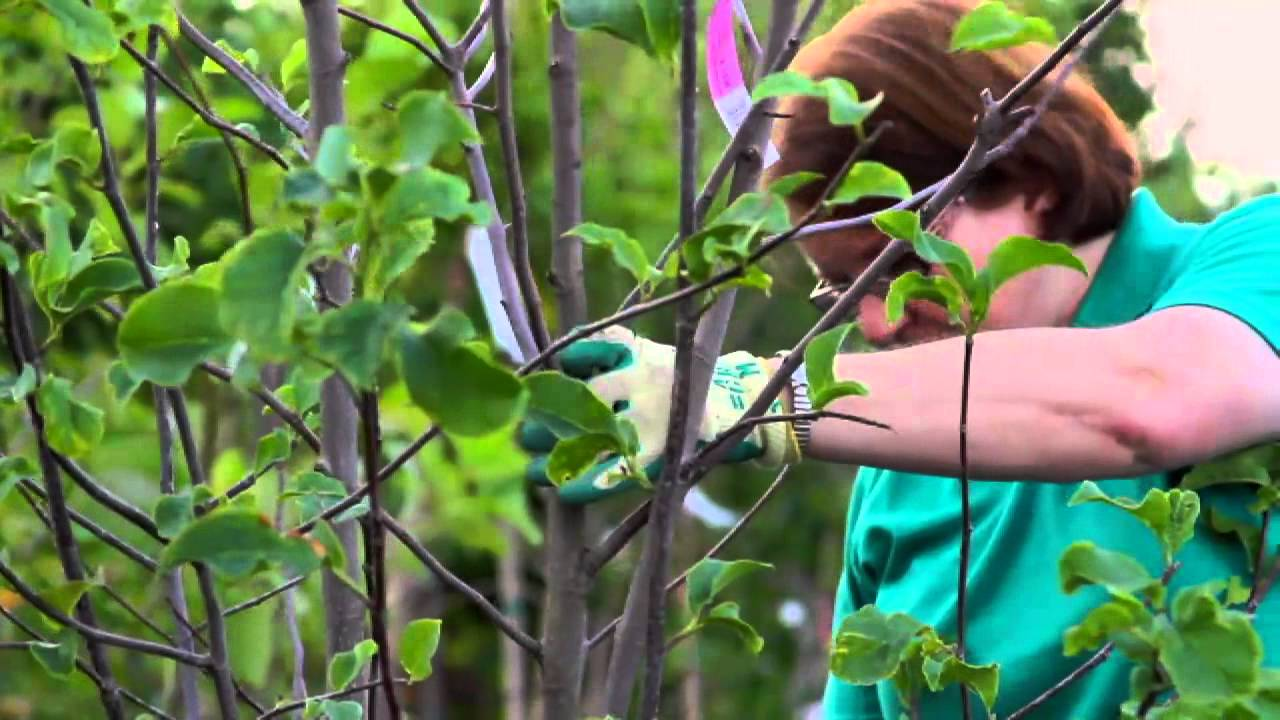 How To Prune A Magnolia Tulip Bush Youtube