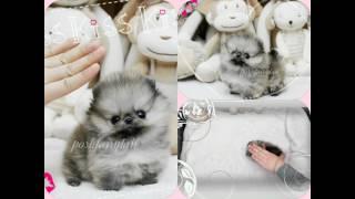 Micro Wolf Sable Pomeranian Boy Prince Bubble