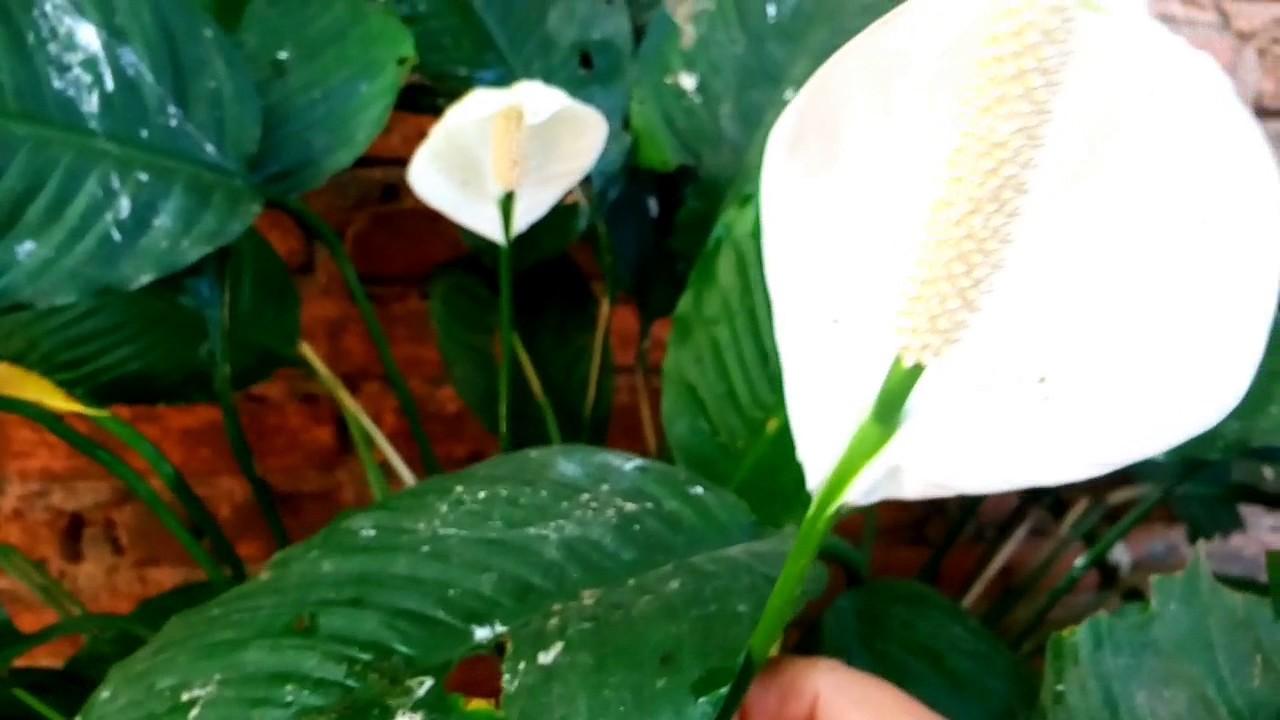 Planta cuna de moises con flores blancas youtube - Planta cuna de moises ...