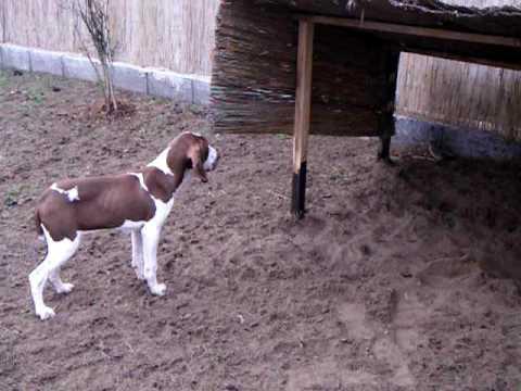 bracco italiano puppy.MOV