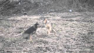Zuffa tra cani maschi per possessività di una femmina