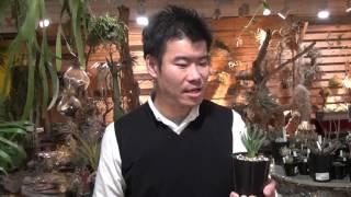 珍奇植物 アルブカ コンフォルディカの紹介・育て方