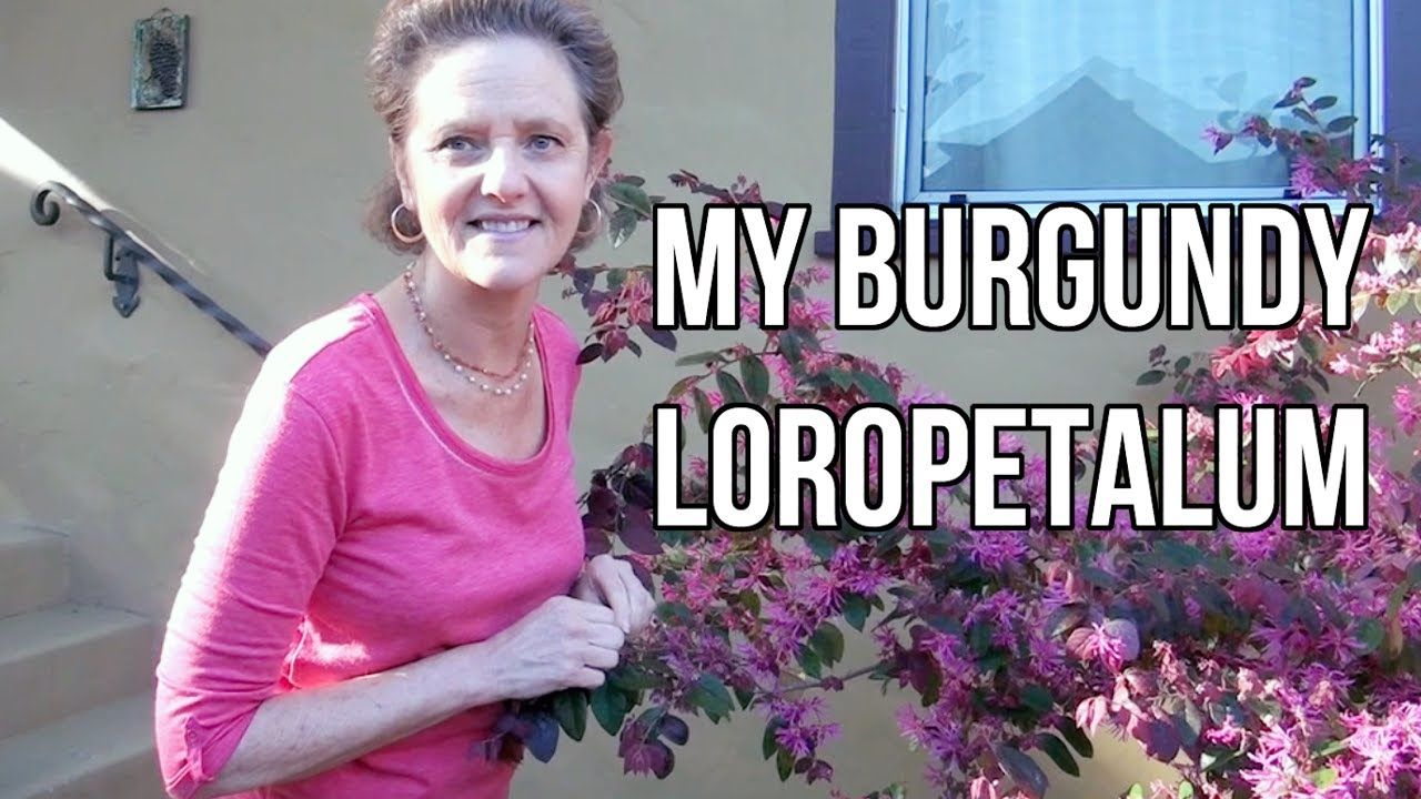 My Burgundy Loropetalum Youtube