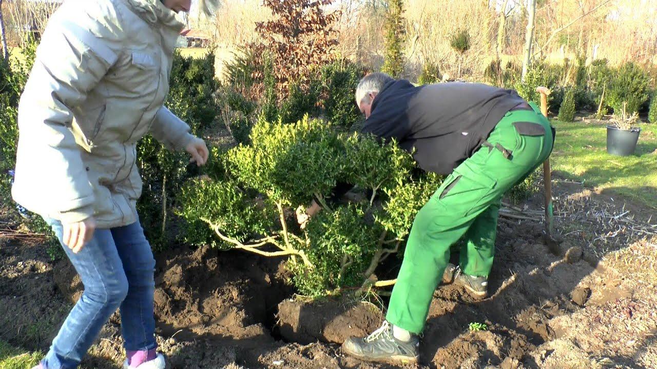 Top Buxus Buchsbaum einpflanzen Big - YouTube #EP_02