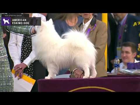 American Eskimo Dogs | Breed Judging 2020