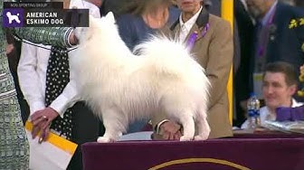 American Eskimo Dogs | Breed Judging 2020