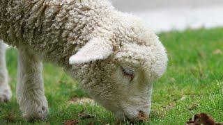 La laine des moutons - Jacky Galou
