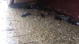 Utah Pigeon Control by Extermiman