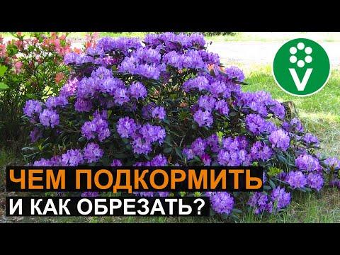 Вопрос: Как вырастить рододендрон?