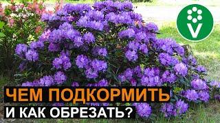 УХОД ЗА РОДОДЕНДРОНАМИ: секреты роскошного цветения