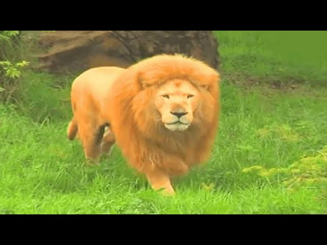 When A Zookeeper Threw This Lion A Toy, She Was Stunned By The Animal's Reaction