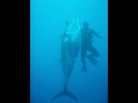 Spearfishing Bluefin Tuna 282kg (621.7pounds)