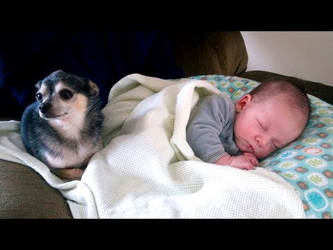 Little Chihuahua Protects and Takes Care Baby 🐕 Dog is The Best Nanny of Baby