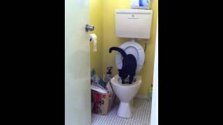 (Domestic shorthair) Cat Chanel's toilet training stage 3