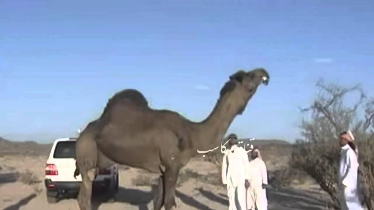 أضخم بعير في منطقة الخليج العربي