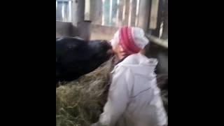Как надо целоваться с быками##
