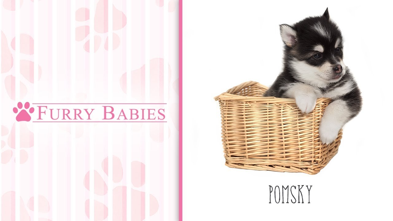 Pomsky-DOG-Male-Red Merle-2097025-Furry Babies