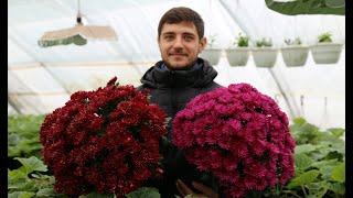Бизнес на хризантеме. Что важно знать.