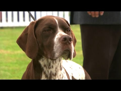 ON THIS DAY 2016: Pointer Juici crowd Queen of the Gundogs