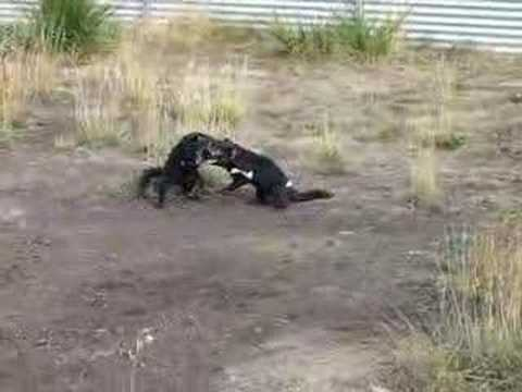 tassie devils fighting youtube