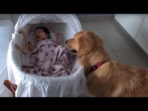 Golden Retriever adorably comforts crying newborn baby