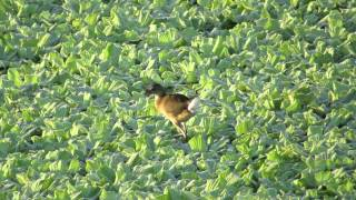 Immature Purple Gallinule hunting in Water Lettuce