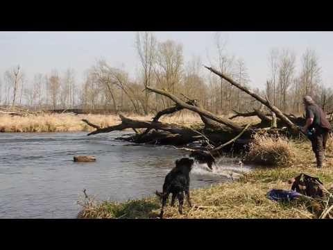 Flat-Coated Retriever Jeffrey bei einer Wasserübung