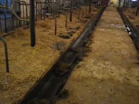 Stanchion Barn Cleaner In Action Youtube