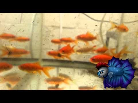 How To Breed Comet Goldfish, Sexing Goldfish, Goldfish Breeding