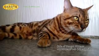 Будни питомника бенгальской кошки Dakota Gold   Кот гуляет