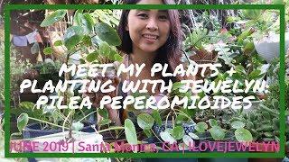 Meet my plants: Pilea Peperomioides   June 2019   ILOVEJEWELYN